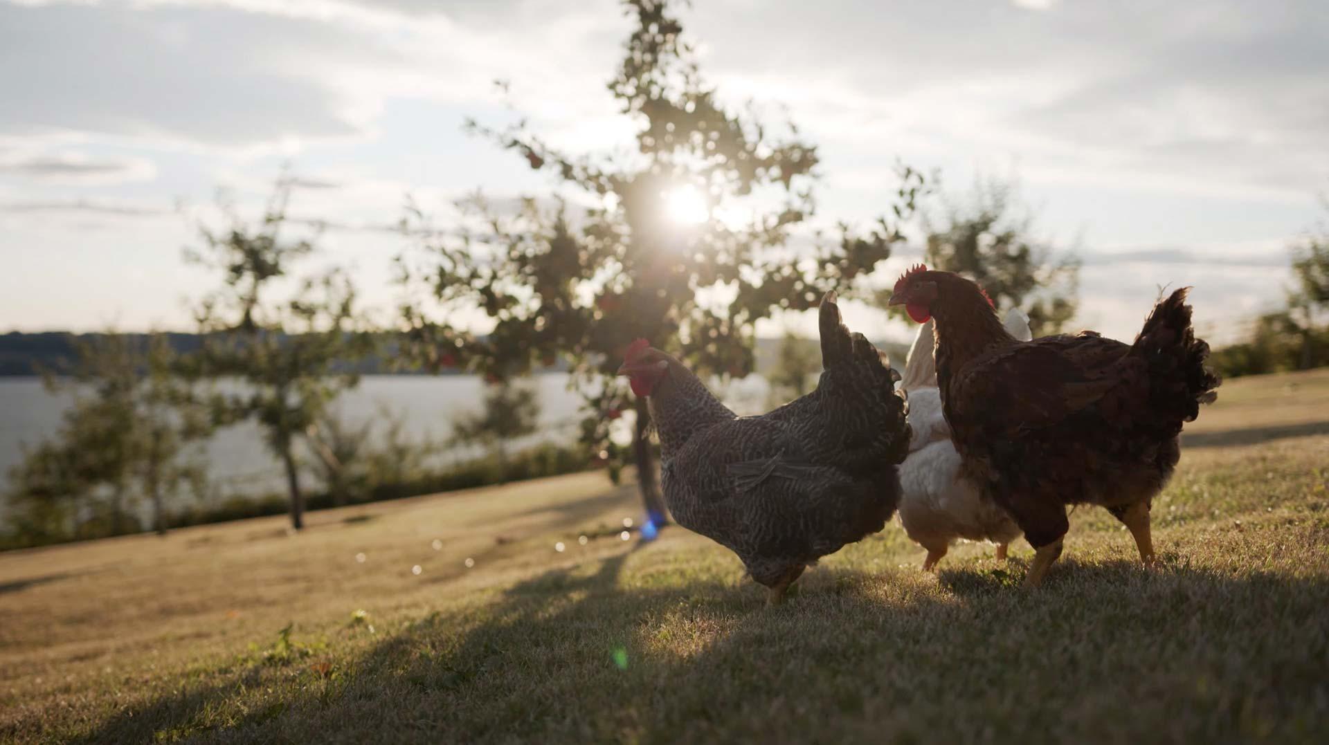 Hovelsrud Gård - Økologisk kyllinger