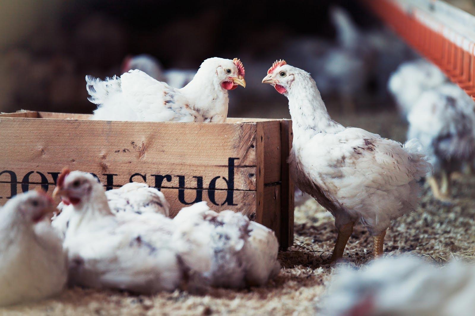 Hovelsrud Gård - Økologisk kylling